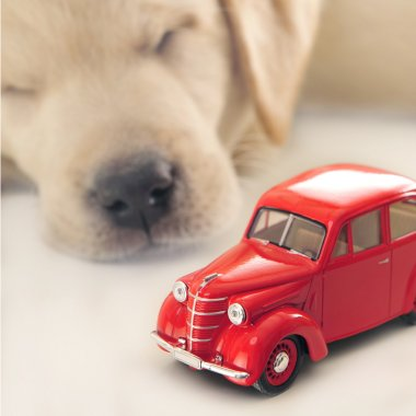 Car insurance concept. Little golden retriever puppy sleeping ne