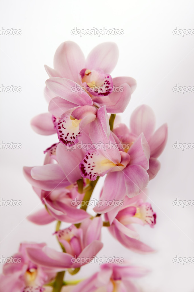 Soft pink orchid on