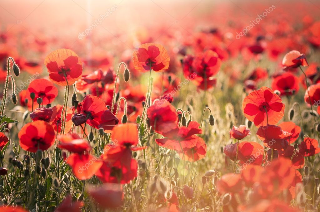 Фотообои Tuscan red poppies