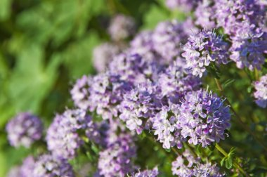 Thyme blooming