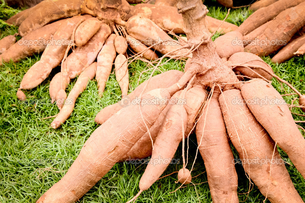 Raw cassava (lat. Manihot esculenta) on green grass background