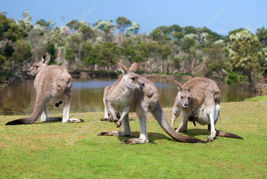 Group of kangaroos in Phillip Island Wildlife Park