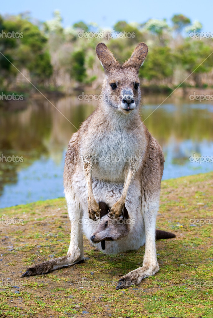 Female kangaroo with a joey in her pouch