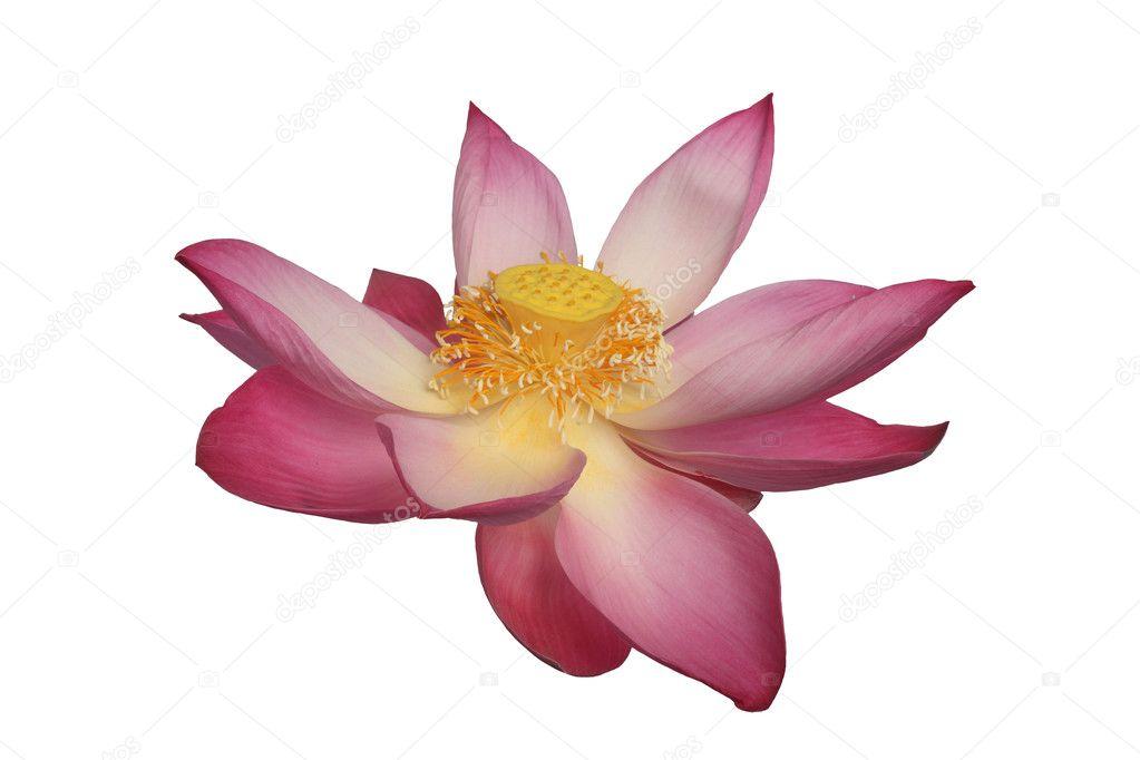 majestätische Lotusblume isoliert auf weißem Hintergrund — Stockfoto ...