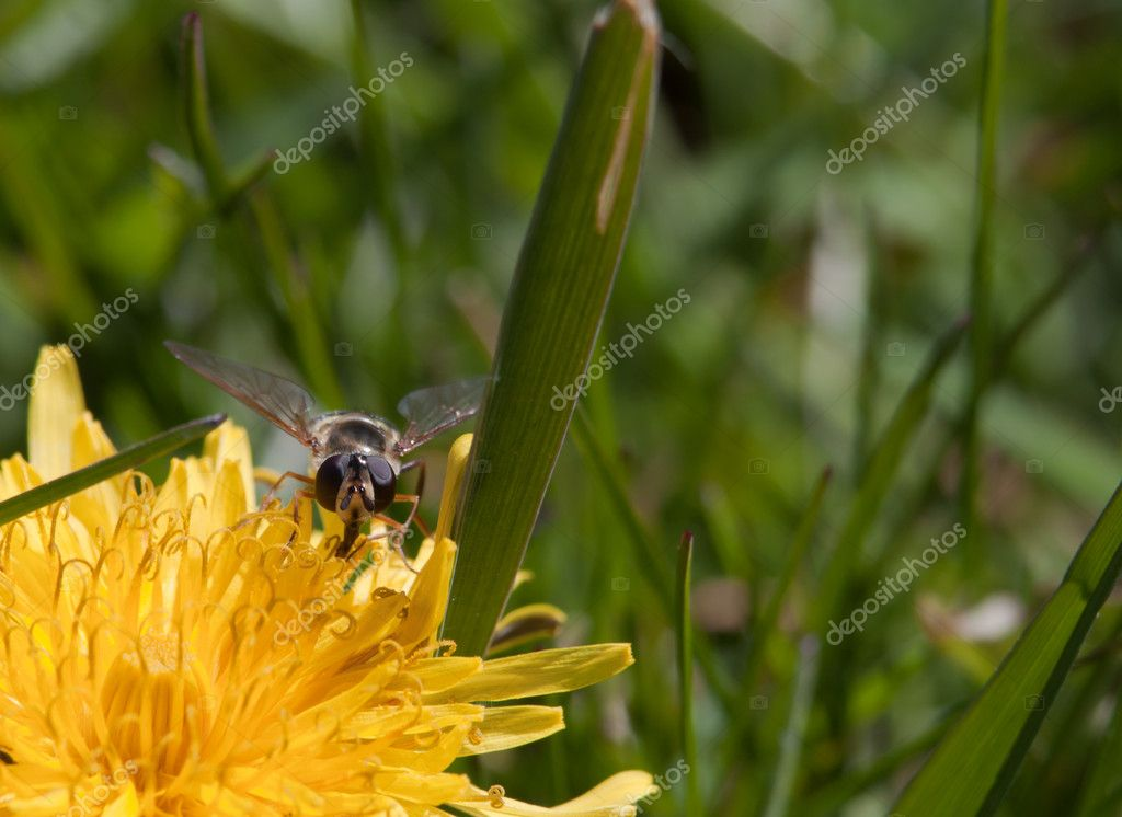 Insects feeding on dandelion flowers