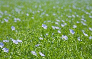 Flax plants (Linum usitatissimum)