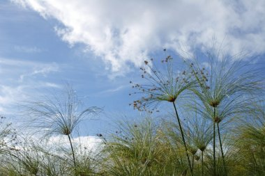 Papyrus plants and blue sky