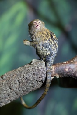 Close-up portrait of a very tiny and very cute pygmy marmoset