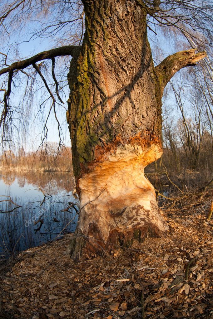 Beaver gnawed willow tree