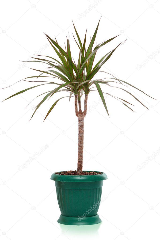 Maison plante dracaena palmier en pot de fleur isol for Plante palmier
