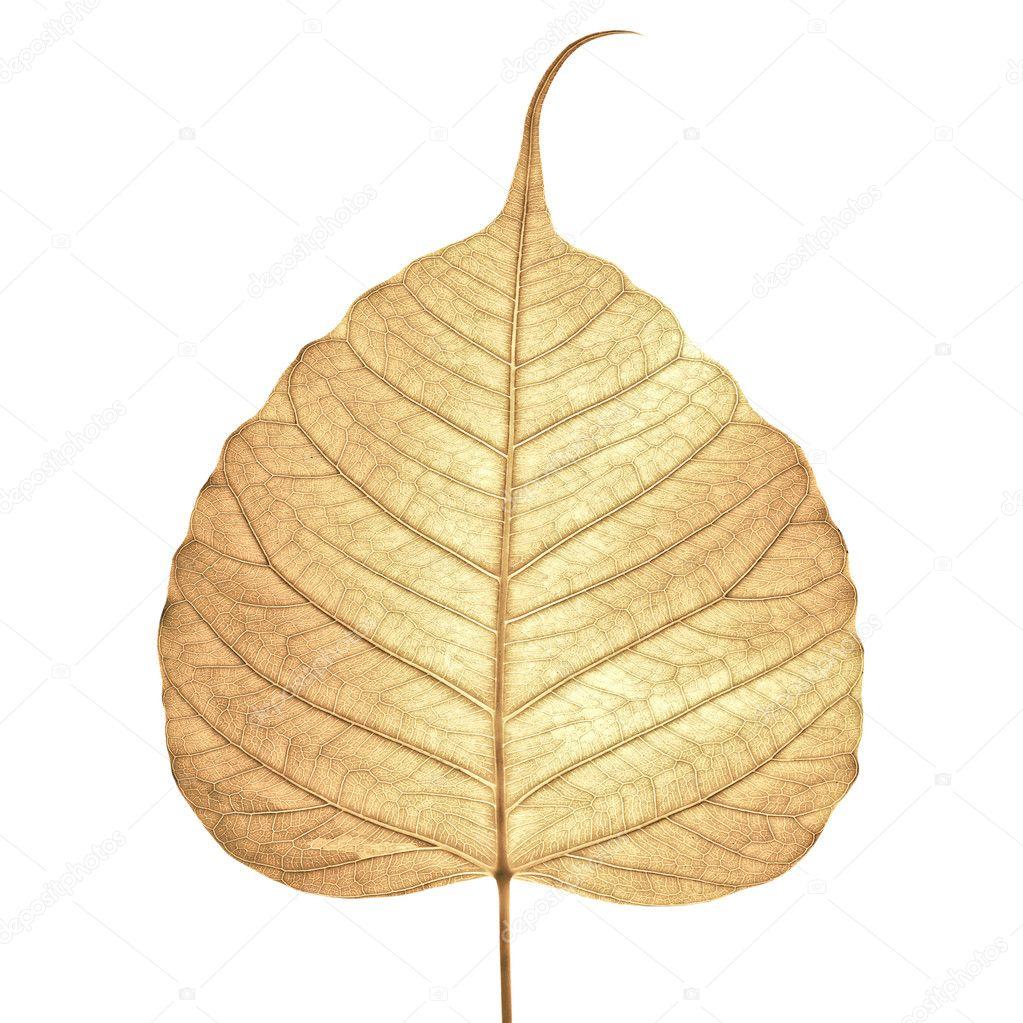 Dried Leaf skeleton background
