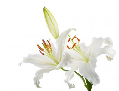 Flowers white lilies on a white background stock vector