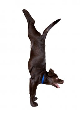 Dog yoga handstand pose