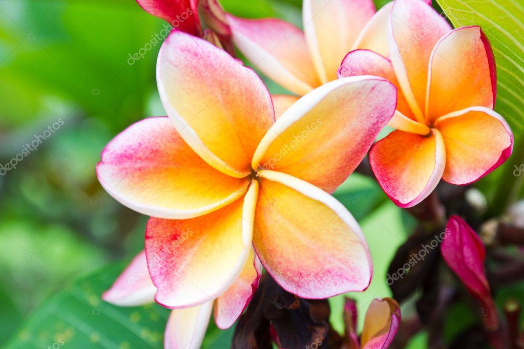 Lan thom orange flower