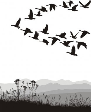 Migrating geese in the spring and autumn