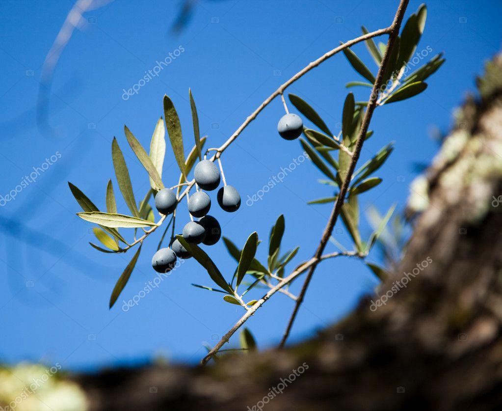 Black Olives on a Branch