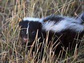 Fotografie Young skunk in a Saskatchewan roadside ditch
