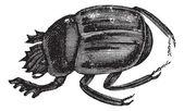 Scarab beetles or Ateuchus aegyptiorum . Vintage engraving