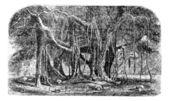 Gravírování Banyan nebo ficus benghalensis, vinobraní