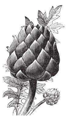 Artichoke, globe artichoke or Cynara cardunculus old engraving.