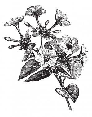 Four o' Clock Flower vintage engraving