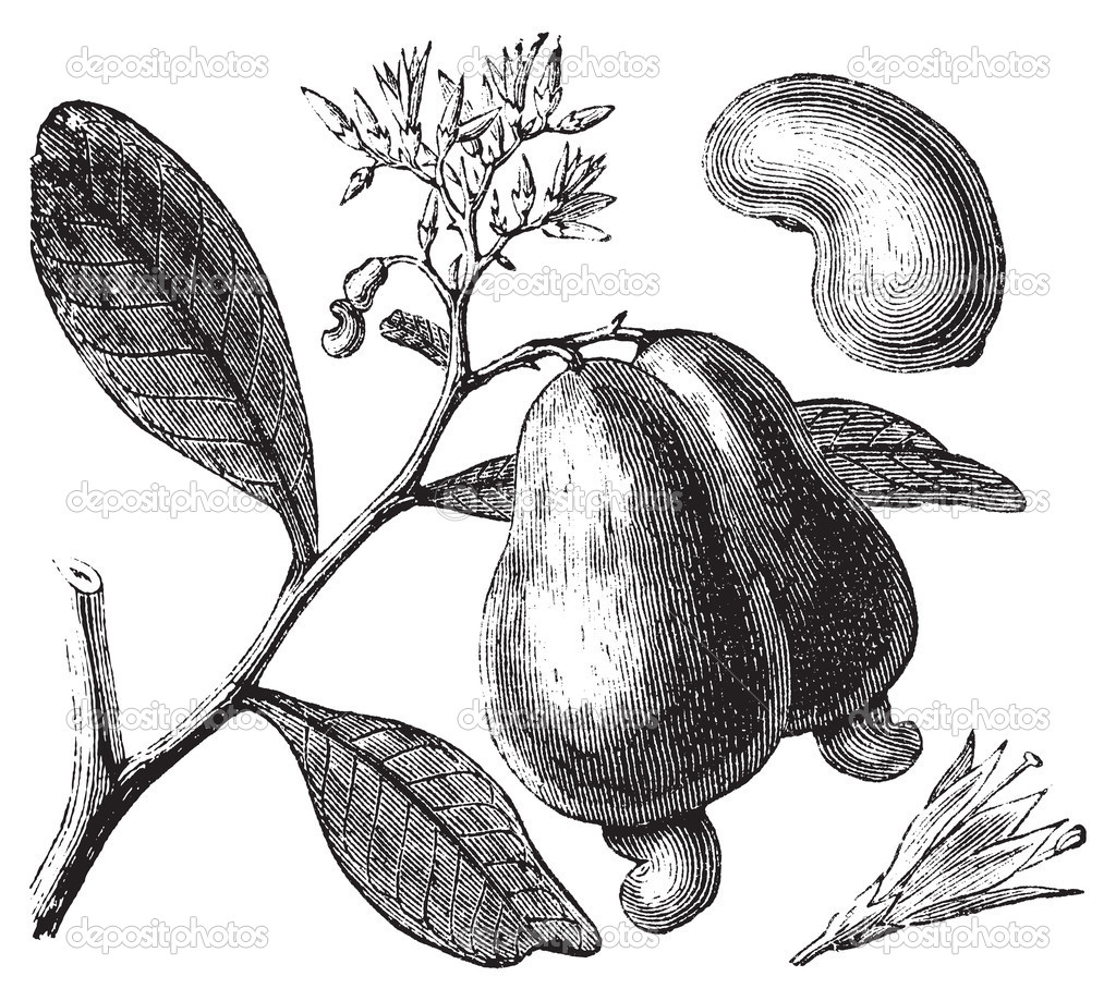 Occidental cashew or Anacardium occidentale tree, apple and nuts