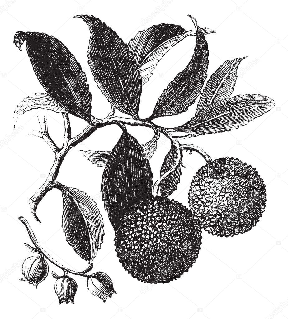 Strawberry Tree or Madrono vintage engraving