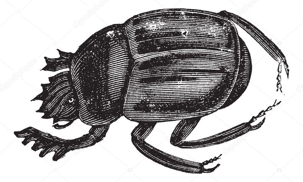 Escarabajo escarabajos o foliosos aegyptiorum. vintage grabado ...