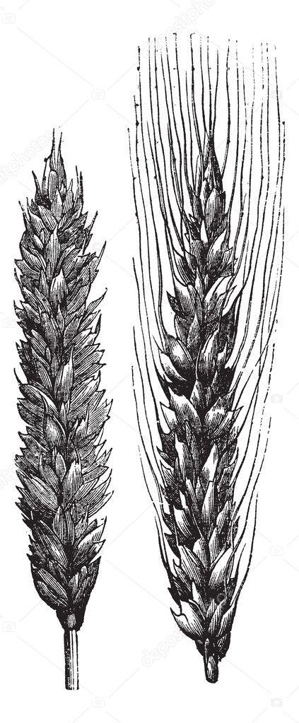Winter wheat, wheat, vintage engraving.