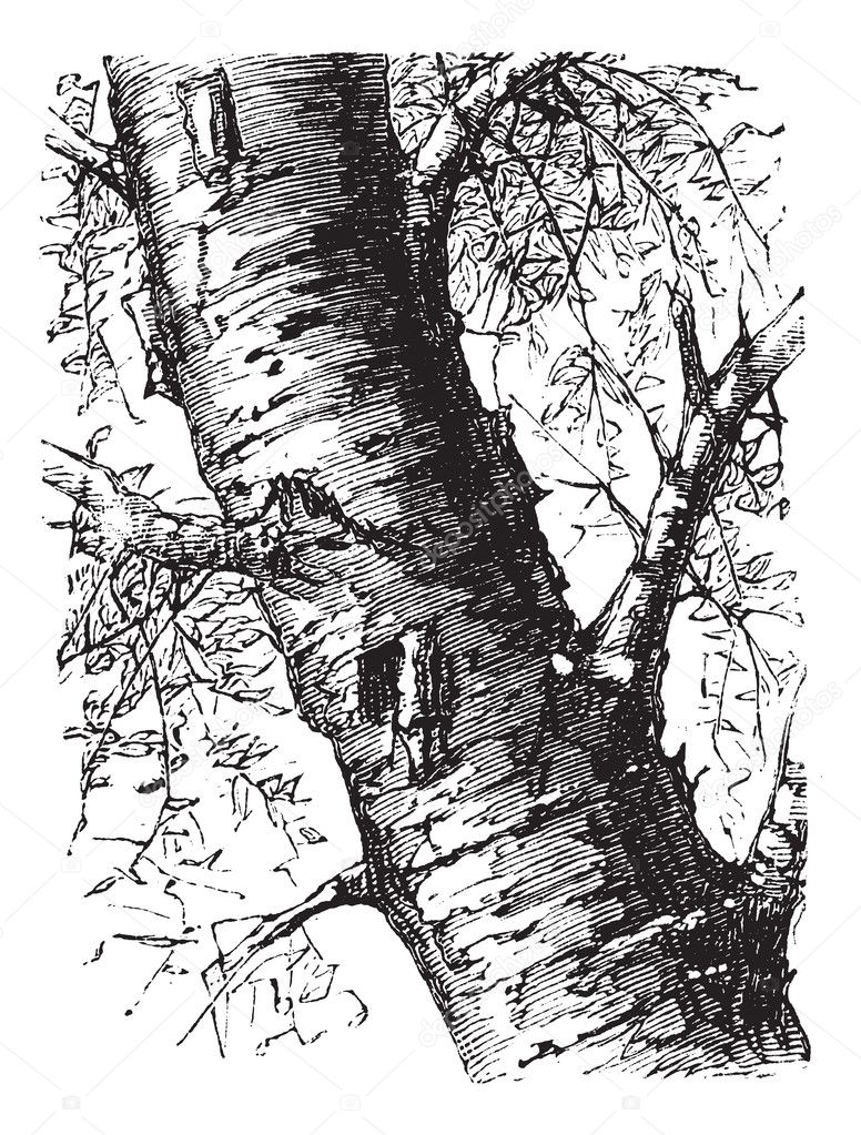 White Birch or Betula papyrifera, tree, trunk, vintage engraving