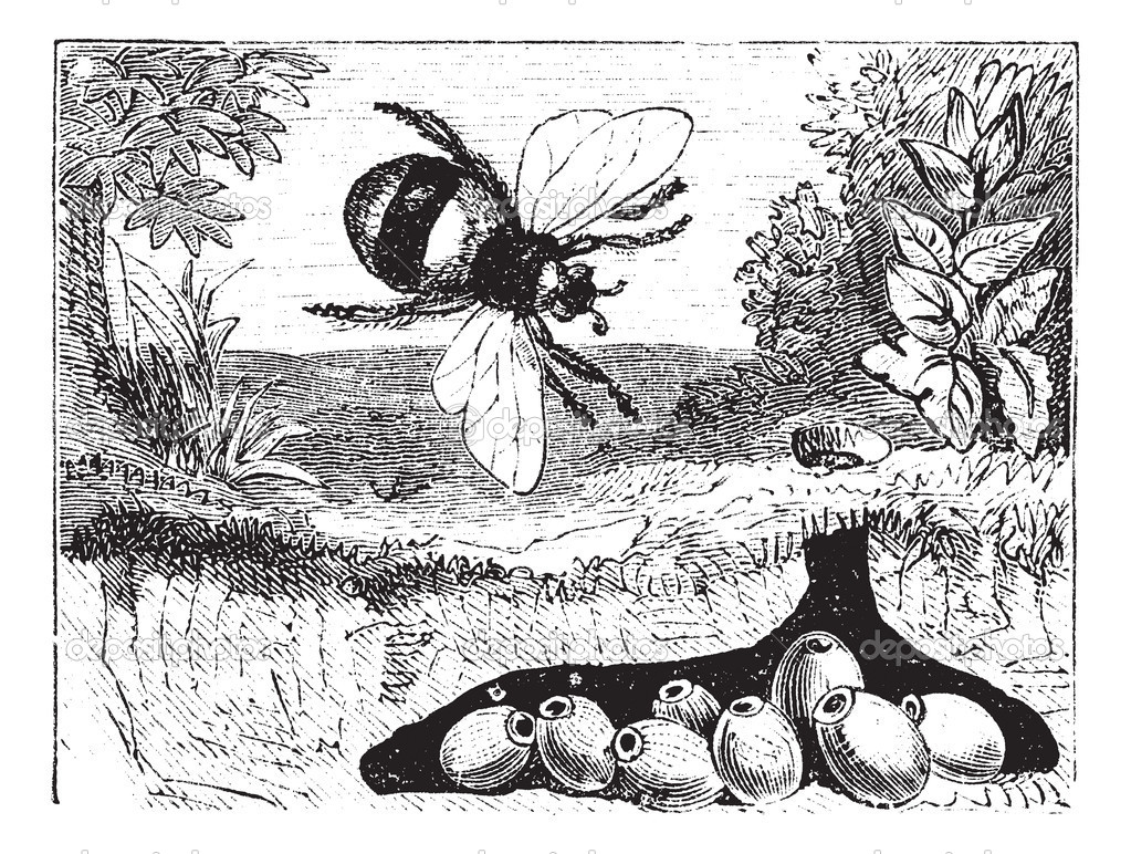 Bombus terrestris or buff-tailed bumblebee, bumblebee, nest, vin