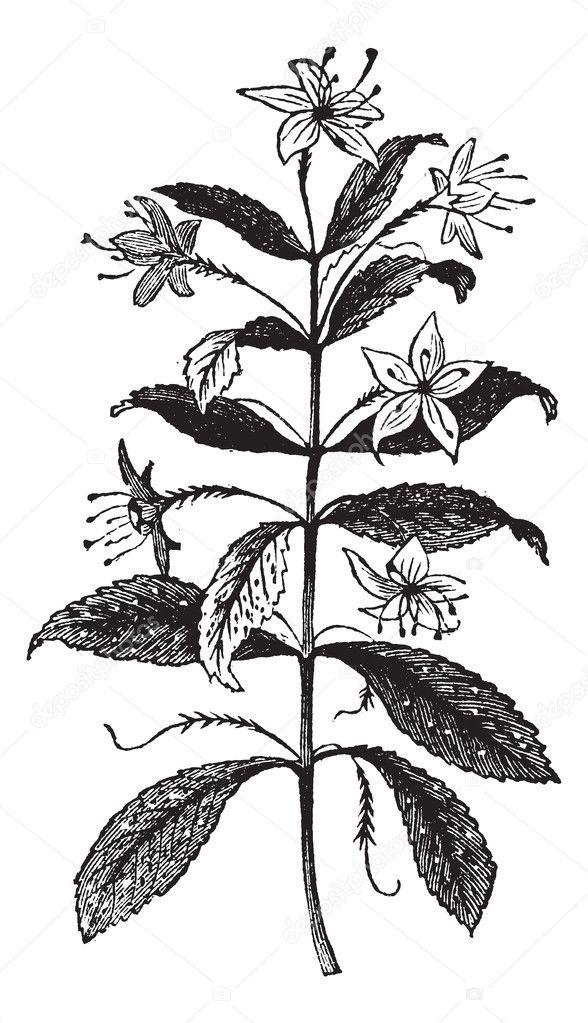 Agathosma crenulata or Barosma crenulata, plant, leaves, vintage