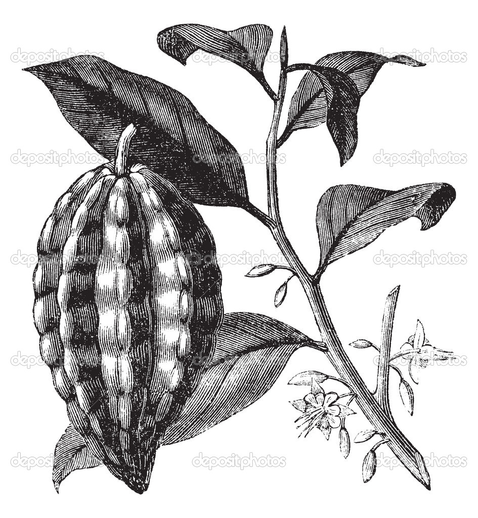 Cacao tree or Theobroma cacao, leaves, fruit, vintage engraving.