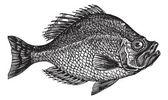 centrarchus aeneus o rock bass pesce incisione depoca