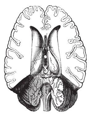 Human brain cut horizontally to show internal parts vintage engr