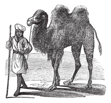 Bactrian camel or Camelus bactrianus vintage engraving