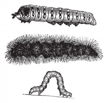 Caterpillar vintage engraving