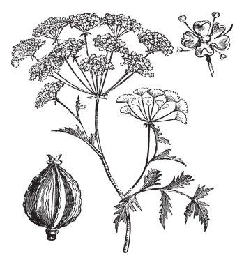 Hemlock or Poison Hemlock or Conium maculatum vintage engraving