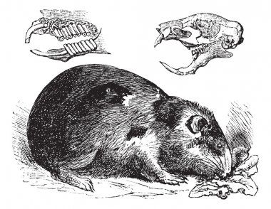 Guinea pig or Cavy or Cavia porcellus vintage engraving