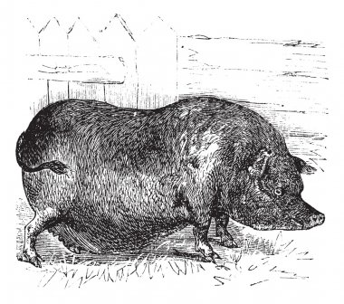 Heude's Pig or Indochinese Warty Pig or Vietnam Warty Pig or Sus