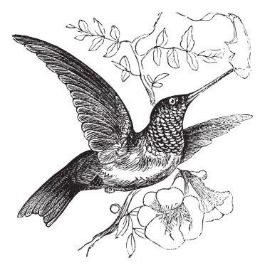 Ruby-throated Hummingbird or Archilochus colubris vintage engrav