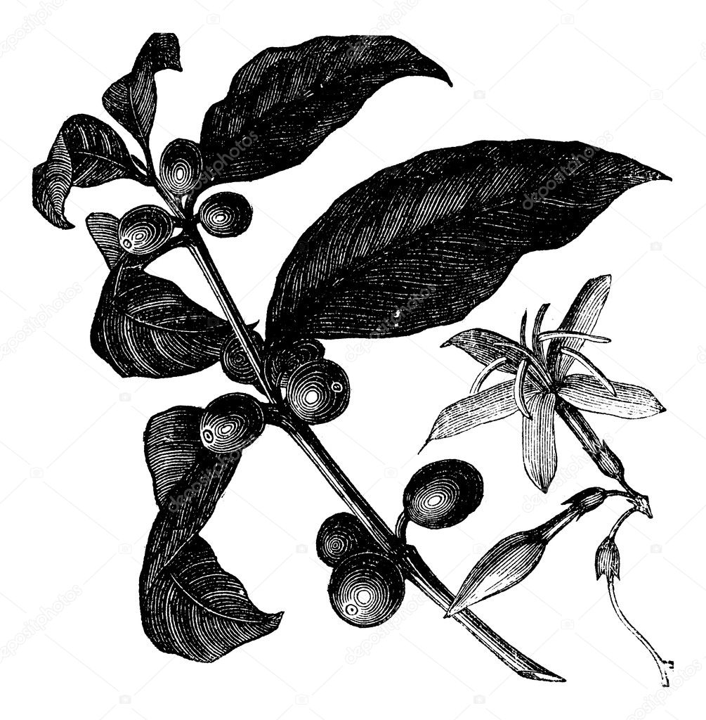 Coffea, or Coffee shrub and fruits, vintage engraving.