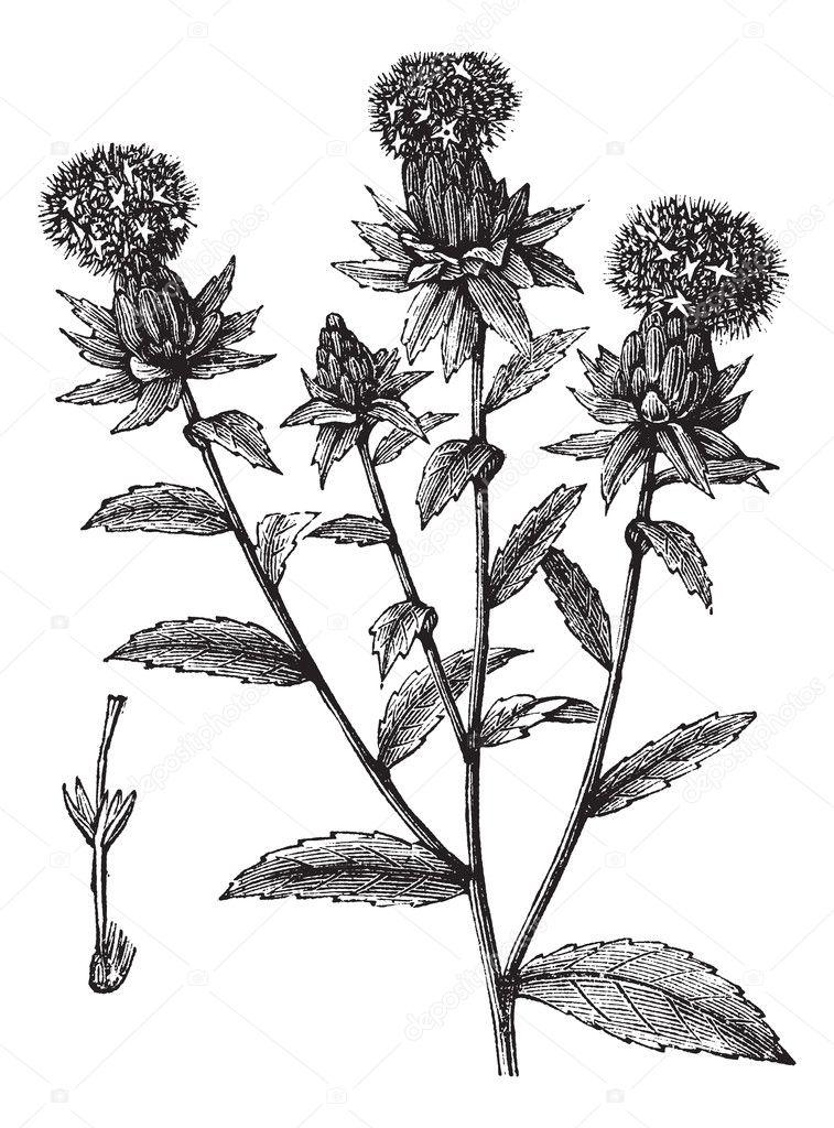Carthamus tinctorius or safflower vintage engraving