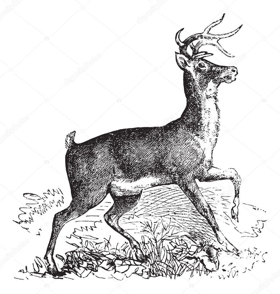 venado de cola blanca o ciervo de virginia vintage grabado — Archivo ...
