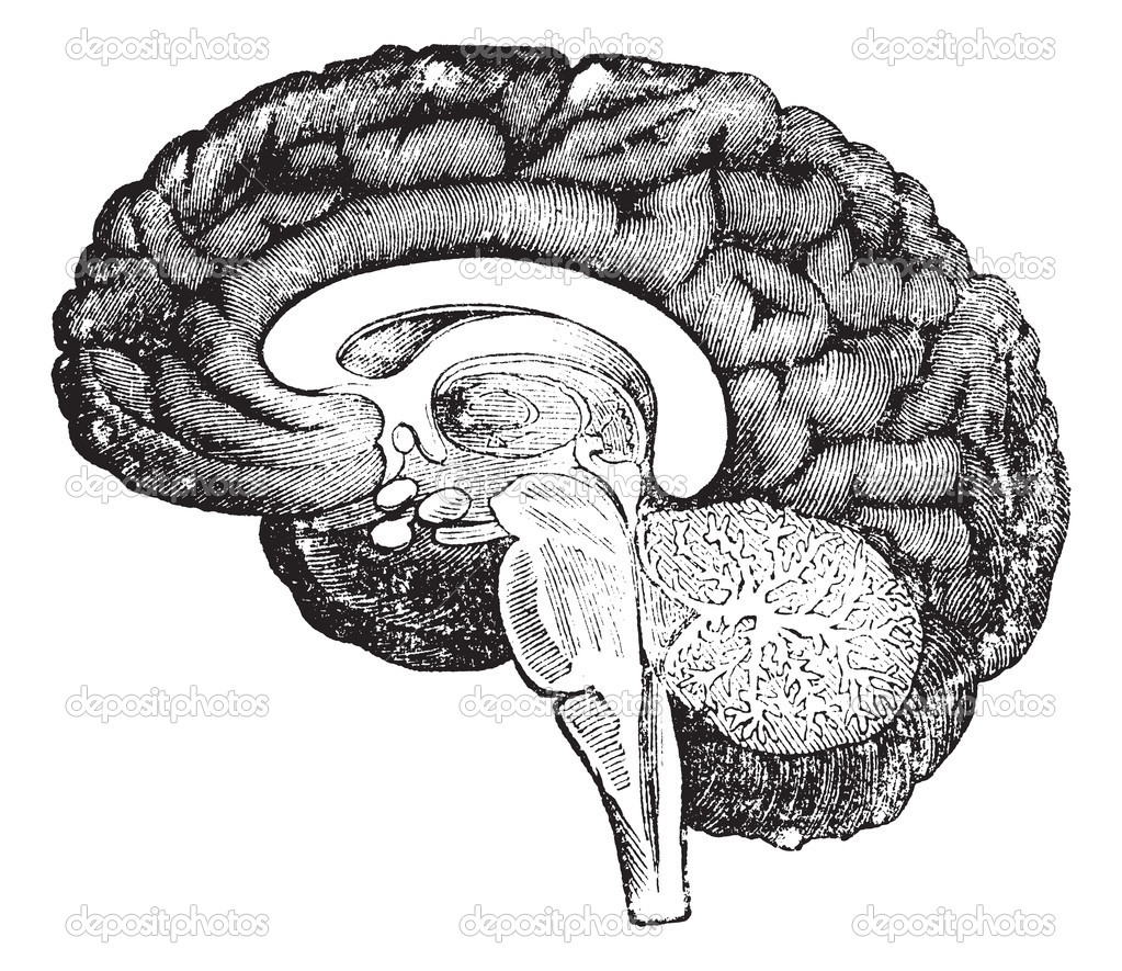 Vertical section of side view of a human brain vintage ...