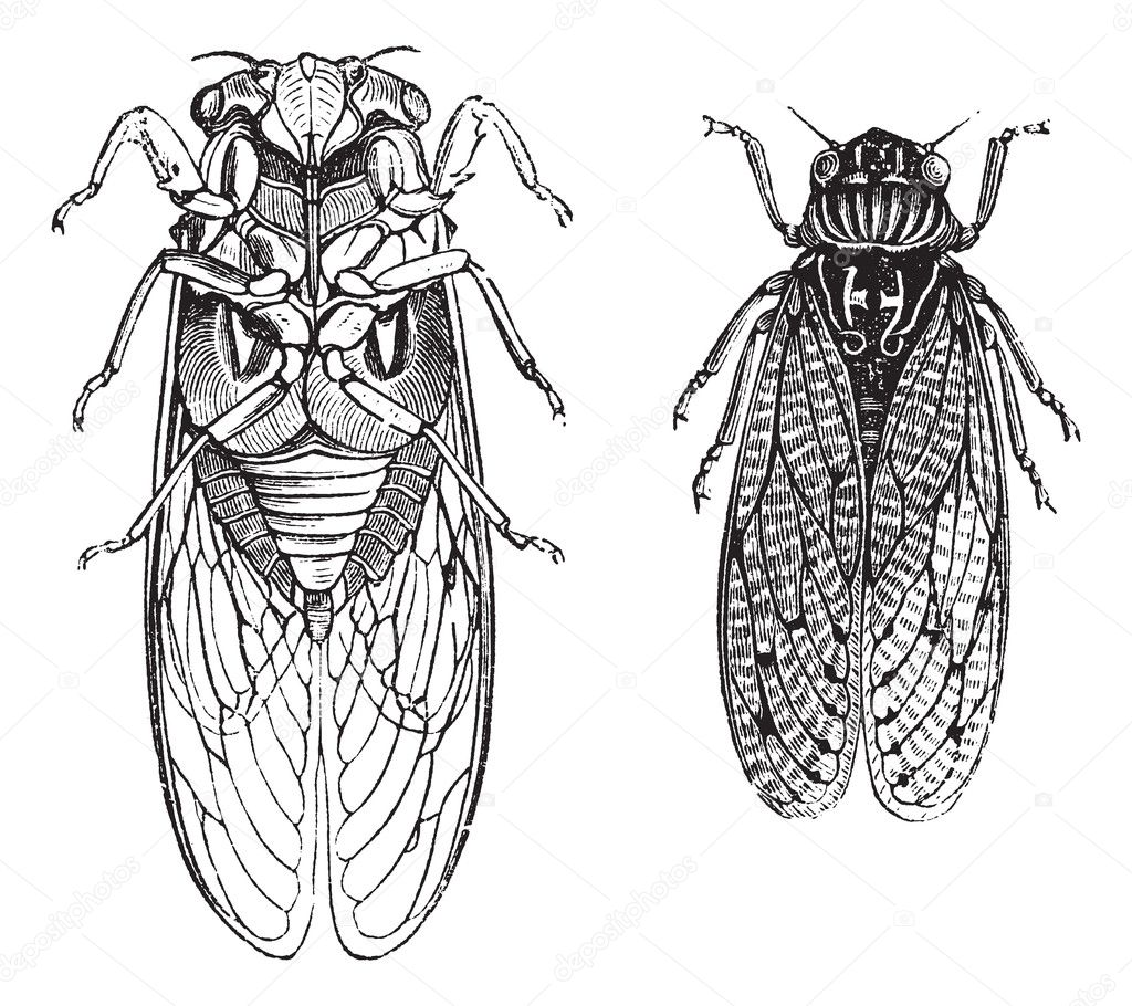 Cicada or Cicadidae or Tettigarctidae vintage engraving