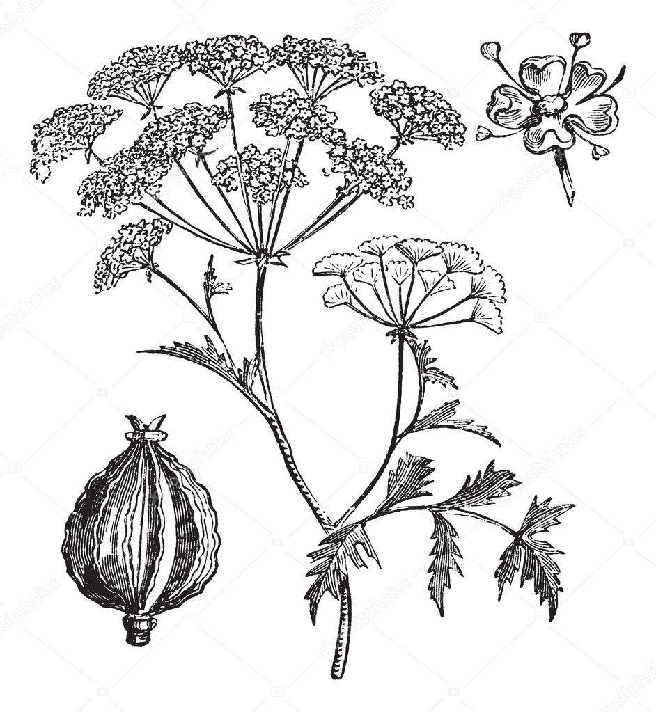 Hemlock or Poison Hemlock or Conium maculatum vintage engraving