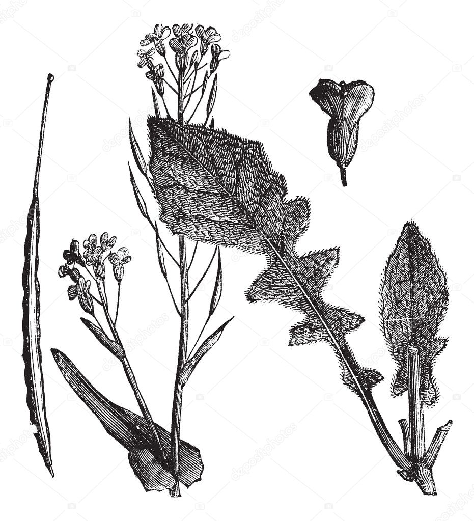 Field Mustard or Turnip Mustard or Brassica rapa or Brassica cam