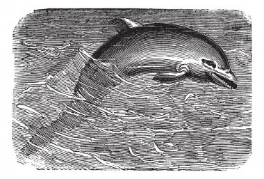 Bottlenose Dolphin or Tursiops truncatus or Tursiops aduncus, vi