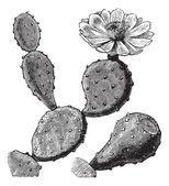 Berber füge vagy indiai füge Opuntia, illetve fügekaktusz vagy Opuntia fic